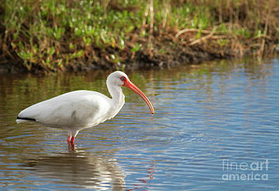 Photograph - Blue Eyed Ibis by David Cutts