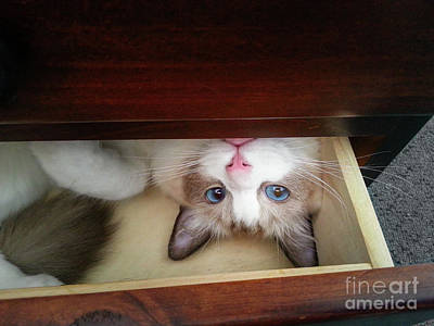 Photograph - Blue-eyed Kitten In A Drawer by Silken Photography