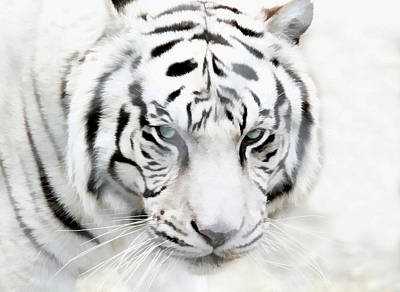 Photograph - Blue Eyed White Tiger by Athena Mckinzie