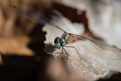 Photograph - Blue-faced Meadowhawk by Robert Potts