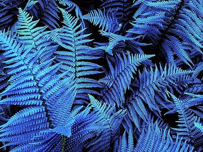 Photograph - Blue Ferns by Colin Drysdale