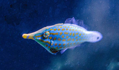 Photograph - Longnose Filefish by William Bitman