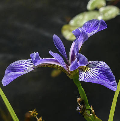Photograph - Blue Flag In The Wild by Tana Reiff