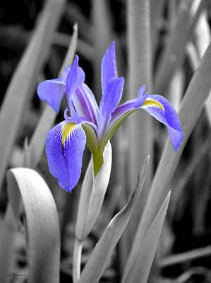 Photograph - Blue Flag Iris Colored Flower by rd Erickson