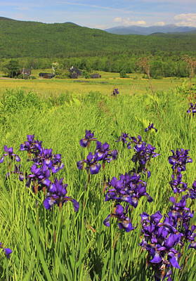 Photograph - Blue Flag Iris On Country Road by John Burk
