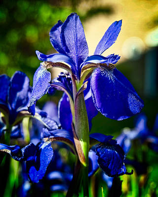 Blue Flame Iris Art Print