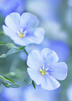 Mountain Landscape Rights Managed Images - Blue flax flowers by Iuliia Malivanchuk Royalty-Free Image by Iuliia Malivanchuk