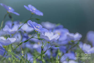 Photograph - Blue Flax Flowers by Cheryl Baxter