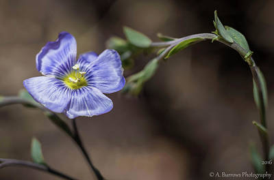 Photograph - Blue Flax Stance by Aaron Burrows
