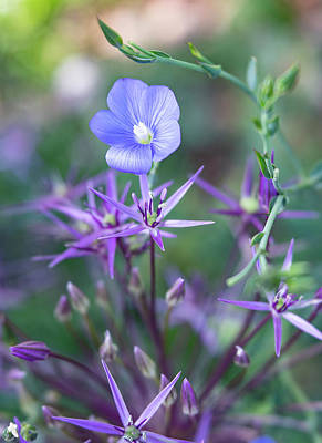 Photograph - Blue Flax Wildflower With Purple Allium In Foreground by Barbara Rogers Nature Inspired Art Photography