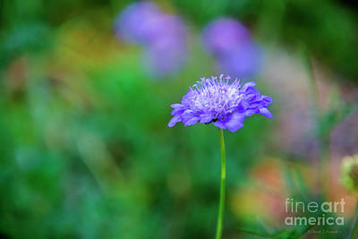 Photograph - Blue Flower by David Arment