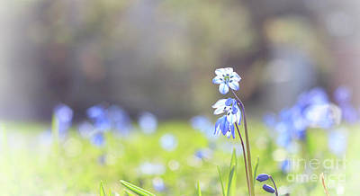 Photograph - Blue Flower Of Scilla by Charline Xia