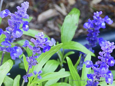 Photograph - Blue Flowers B5 by Monica C Stovall