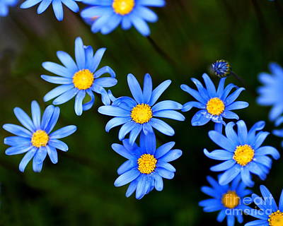 Blue Flowers Print by Wingsdomain Art and Photography