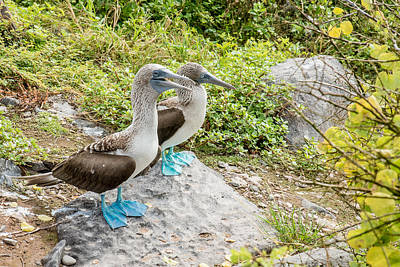 Photograph - Blue-footed Boobies by Harry Strharsky