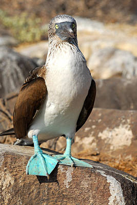 Blue-footed Booby Art Print by Alan Lenk