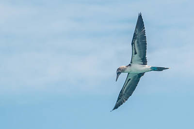 Photograph - Blue-footed Booby Fishing by Harry Strharsky