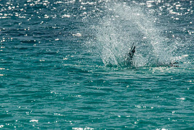 Photograph - Blue-footed Booby Fishing Splashdown by Harry Strharsky