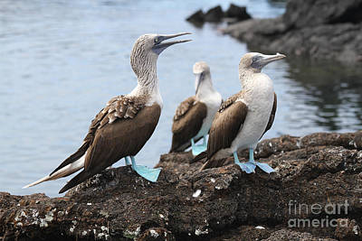 Photograph - Blue Footed Booby Grooming Session by Catherine Sherman