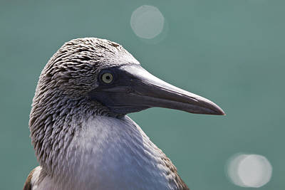 Blue Footed Booby II Print by Dave Fleetham