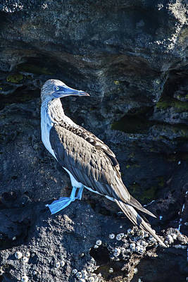 Photograph - Blue-footed Booby by John Haldane