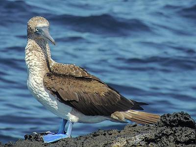 Photograph - Blue-footed Booby  Puerto Egas James Bay Santiago James Island Galapagos Islands by NaturesPix