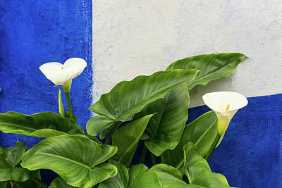 Photograph - Blue Garden Contrasts - Calla Lilies Against The Wall Left by Georgia Mizuleva