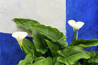 Photograph - Blue Garden Contrasts - Calla Lilies Against The Wall Right by Georgia Mizuleva