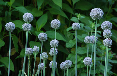 Photograph - Blue Garlic by Buddy Scott