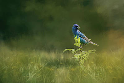 Photograph - Blue Gem In The Meadow Bird Art By Jai Johnson by Jai Johnson