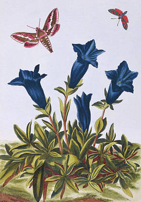 Trumpet Drawing - Blue Gentian  Trumpet Flower  by Pierre-Joseph Buchoz