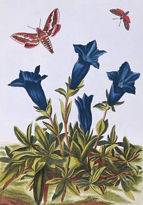 Blue Gentian  Trumpet Flower  Art Print