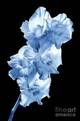 Photograph - Blue Gladiolas #0146 by David Perry Lawrence