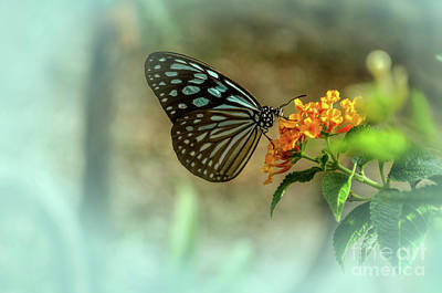 Photograph - Blue Glassy Tiger Butterfly by Michelle Meenawong