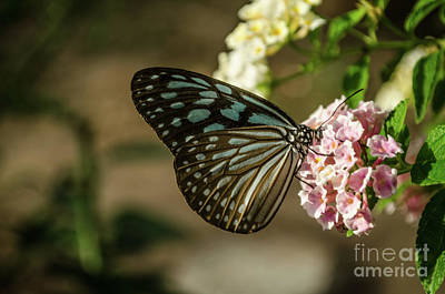 Glassy Wing Photograph - Blue Glassy Tiger by Michelle Meenawong