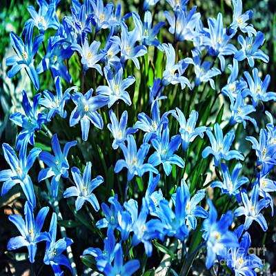Photograph - Blue Glory Snow Flowers  by Judy Palkimas
