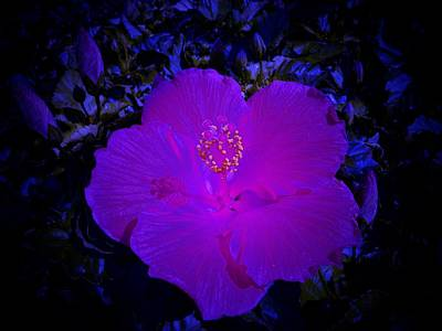 Photograph - Blue Glow Hibiscus by Sheri McLeroy