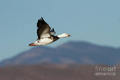 Photograph - Blue  Goose And Mountains by Ruth Jolly