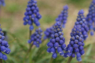 Blue Grape Hyacinths Original by William Ohanlan