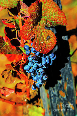 Photograph - Blue Grapes by Rick Bragan