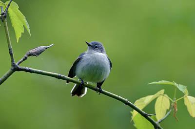 Birds Photograph - Blue -gray Gnatcatcher by Ann Bridges