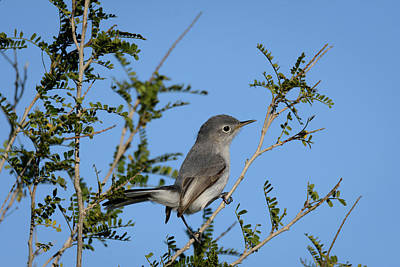 Photograph - Blue-gray Gnatcatcher At Falcon State Park Of Texas by Debra Martz