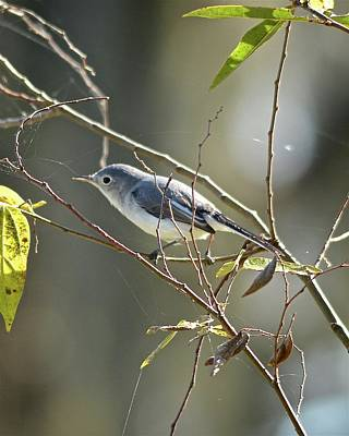 Photograph - Blue-gray Gnatcatcher by Carol Bradley