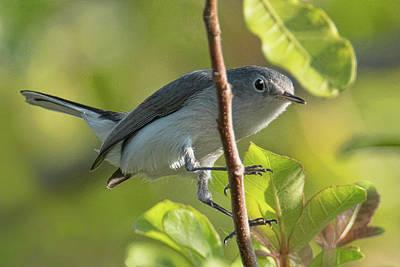 Photograph - Blue Gray Gnatcatcher by Don Durfee