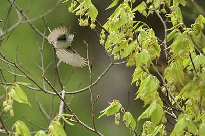 Photograph - Blue-gray Gnatcatcher by Gerald Hiam