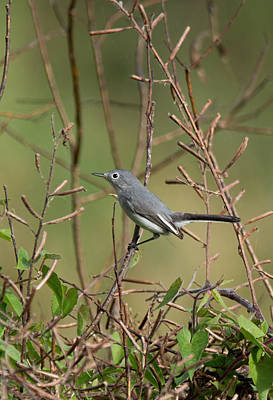 Photograph - Blue-gray Gnatcatcher by John Black
