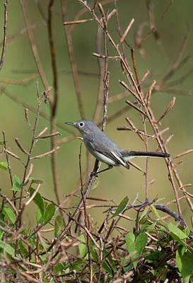 Photograph - Blue-gray Gnatcatcher by John Black
