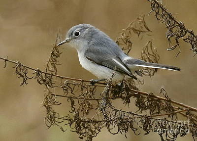 Photograph - Blue-gray Gnatcatcher by Myrna Bradshaw