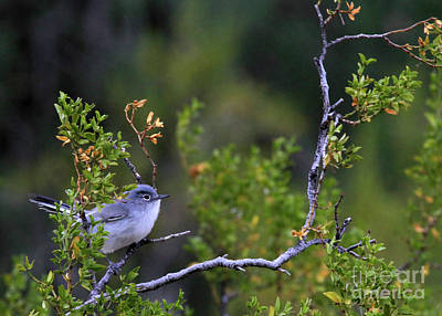 Photograph - Blue-gray Gnatcatcher  by Paula Guttilla