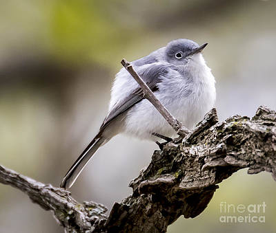 Photograph - Blue Gray Gnatcatcher by Ricky L Jones